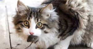 Mèo bắt chuột phòng cắn dây điện